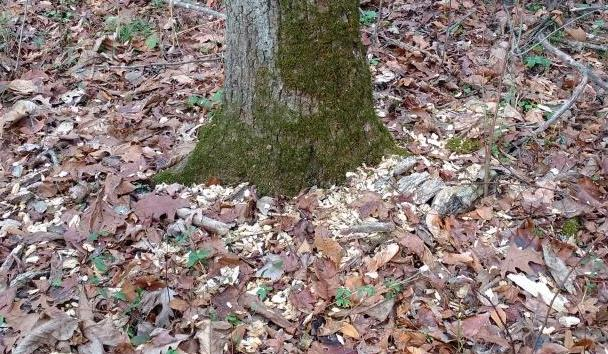 woodpecker flakes base of tree