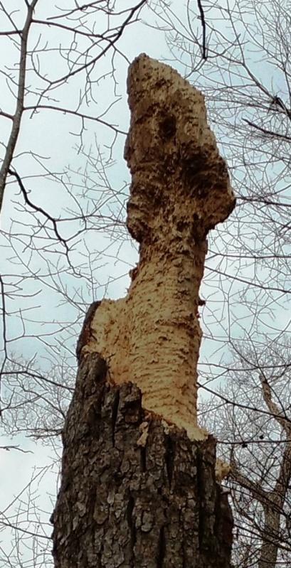 woodpecker tree top