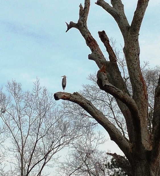 big tree heron2