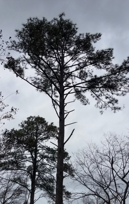 owl roost pine
