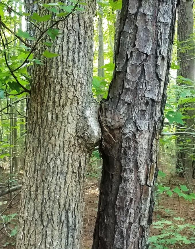 kissing trees1