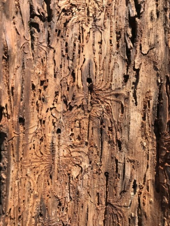 Centipede-shaped galleries made by the hickory bark beetle