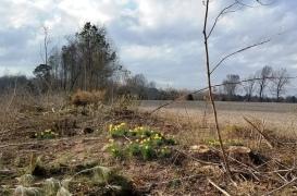 Elkin daffodils