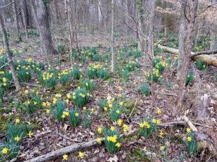 Zanoni daffodils pan left