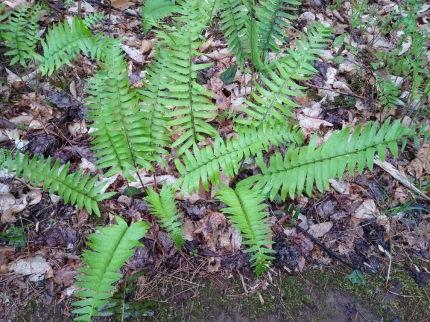 Christmas fern (Polystichum acrostichoides).