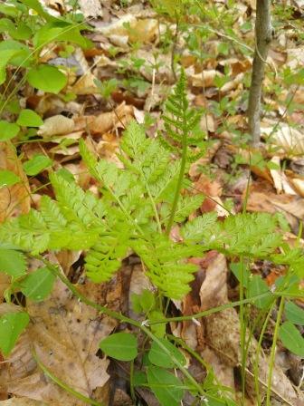 Rattlesnake fern (Botrychium virginianum).